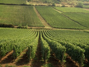 busselle-michael-vineyards-near-lugny-burgundy-bourgogne-france